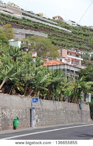 Terraced fields with banana in Camara de Lobos on Madeira