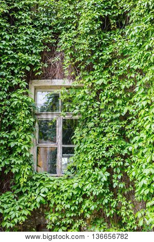 Old wall with window decorated by green creeper ivy leaves