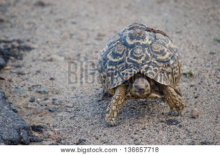 leopard tortoise going for a walk in the african bush