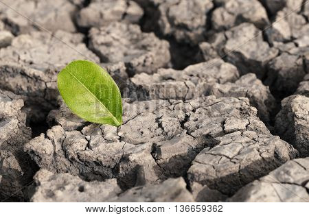 Drought. A green leaf on dry crack ground. Nature and environmental destruction by human concept