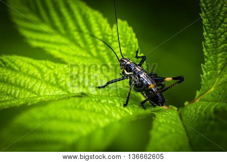 An Image of Black Grasshoppers - macro Grasshopper on the leaf