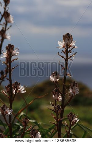 Tall flowers growing on cliffs along Gozo coast (Ta'cenc cliffs).