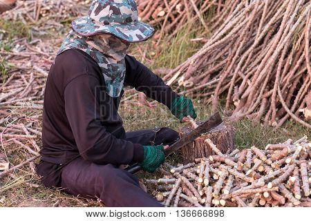 Man using knife to chopped cassava tree for planting
