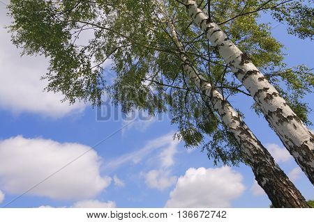 Two birches under sky with clouds. Bottom view.