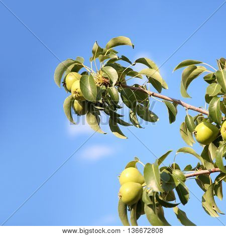 pear tree and fresh pears over clear sky