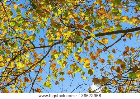 Autumn maple leaves on sunny day against blue sky on the background. Bright yellow foliage of fall season texture wallpaper. Selective focus