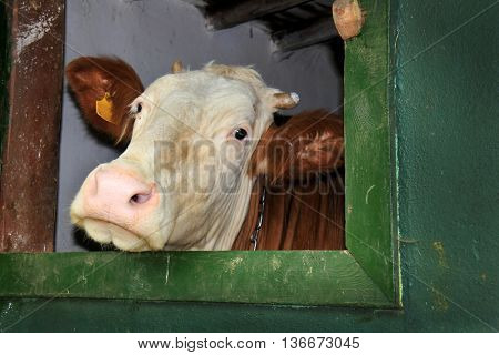close up shot of cow head in stable