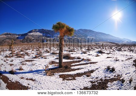Joshua tree in snow at death valley national park