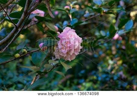 Pink camellia flower in full bloom against green foliage background. Pink Japanese Camellia flower in the garden surrounded with glossy green leaves. Close up selective focus space for text