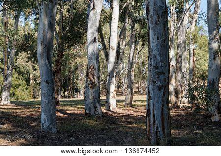 Australian Eucalyptus tree trunks forest on a sunny day