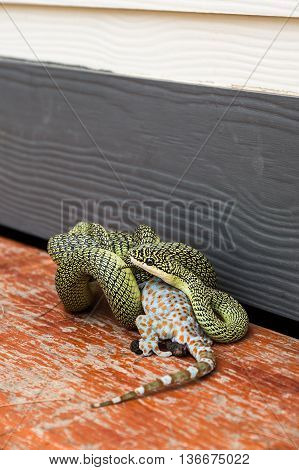 The Golden Tree Snake (Chrysopelea ornata) is eating Gecko Calling gecko Tropical asian gecko.