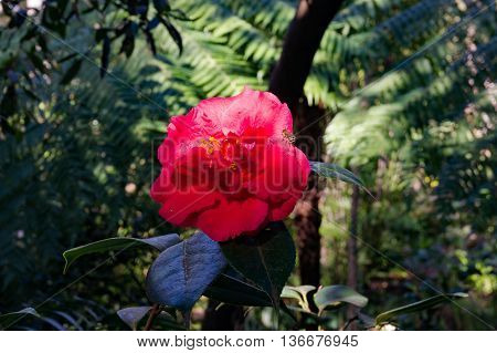 Bright red camellia flower in full bloom with a bee insect against exotic green foliage background. Red Camellia flower surrounded with tropical lush leaves. Close up selective focus space for text