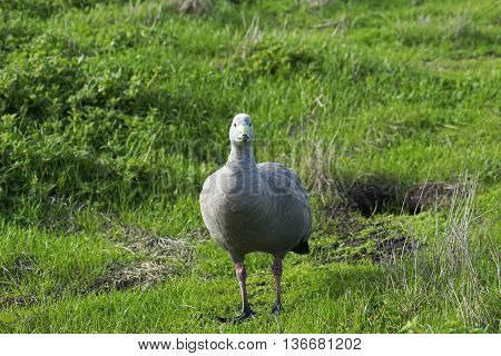 Cape Barren Goose (Cereopsis novaehollandiae) looking into camera, head on