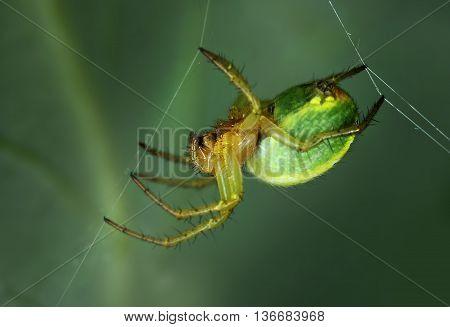Spider Araniella displicata weaving web close-up macro