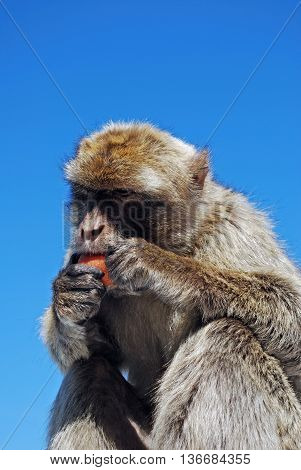 Barbary Ape (Macaca Sylvanus) eating a carrot Gibraltar United Kingdom Western Europe.