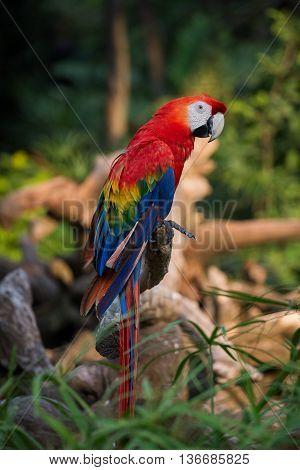 Red Macaw Parrot in Safari World Bangkok Thailand