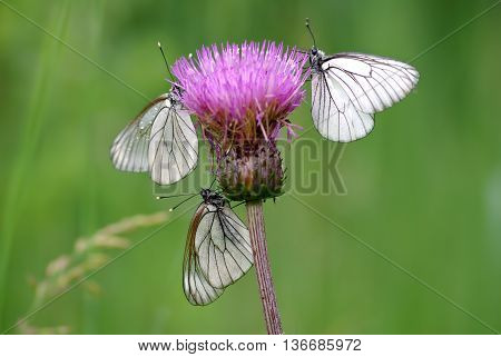 Trio Black-veined White butterflies (Aporia crataegi) in the pink flower