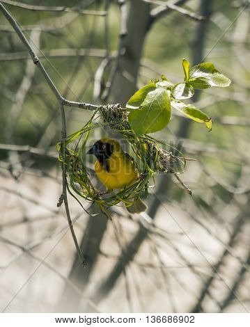 Weaver bird builds new green grass nest on the tree. Ending of winter - beginning of spring in South Africa. Wild nature.