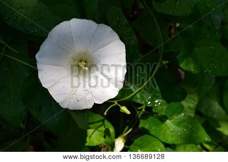 lonely white lady in the morning dew
