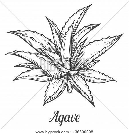 Cactus Blue Agave. Plant Vector Hand Drawn Illustration On White Background. Ingredient For Tequila,
