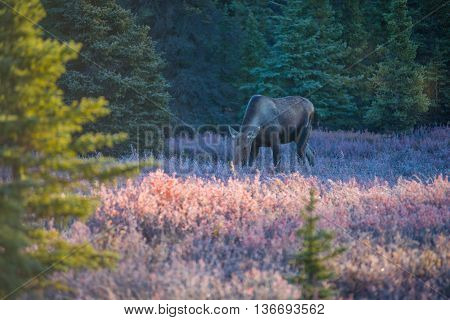 Moose In Denali National Park , Fall