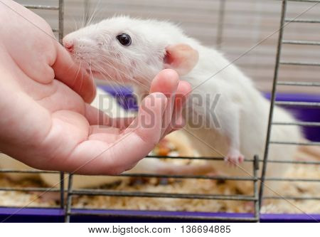 Curious white rat looking out of a cage and a human hand (selective focus on the fingers and rat nose)