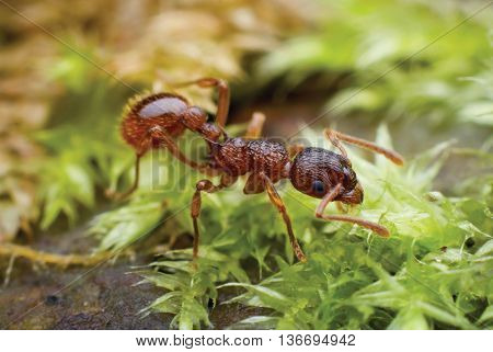 red ant crawling through thickets of moss green. Close-up