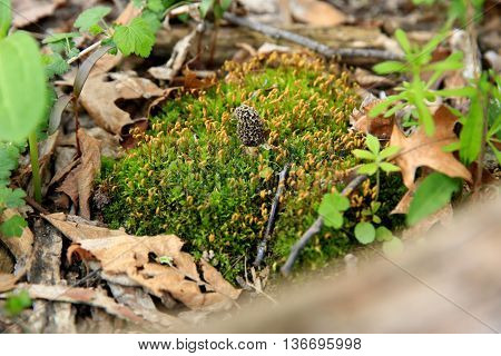 moral mushroom edible fungus leaves springtime moss leaves woods