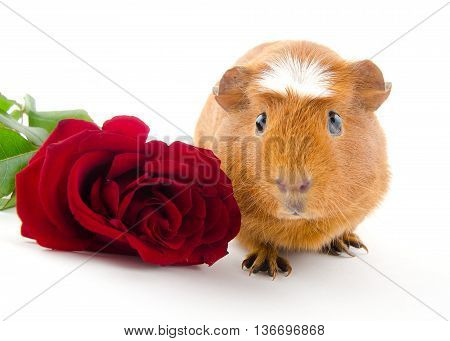 Funny-looking guinea pig and a red rose (on a white background)
