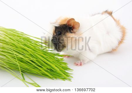 Cute little guinea pig eating a blade of grass and green grass (on a white background)