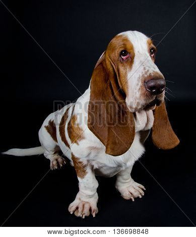Funny-looking Basset Hound (isolated on black selective focus on the eyes)