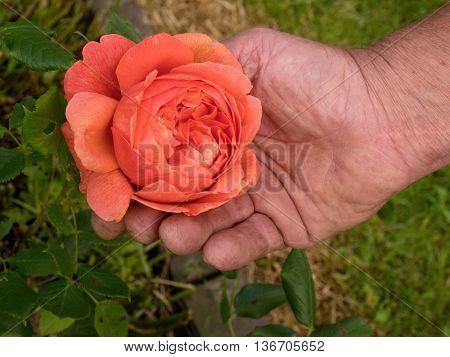 Gardener hold red rose in old hand over flower bed background. Big rich blossom of pink rose.