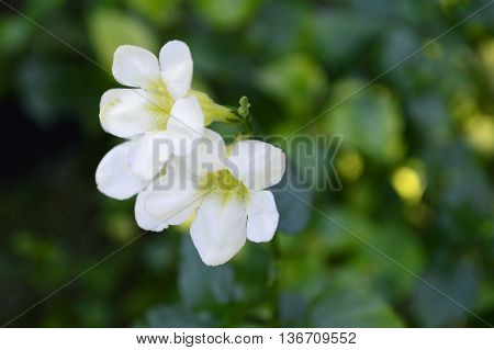 White Chinese violet, Asystasia sp, Family Acanthaceae, Central of Thailand