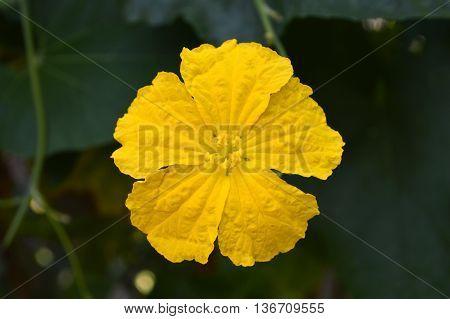 Luffa flower, Luffa sp., Family Cucurbitaceae, Central of Thailand