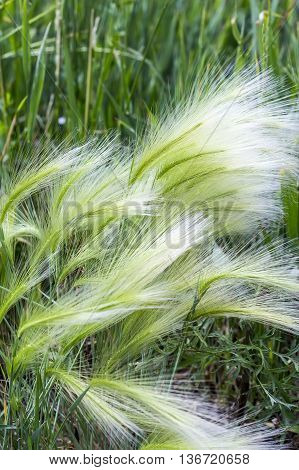 The maned barley (Latin name Hordeum jubatum) is an attractive plant of the family Gramineae. A group of plants
