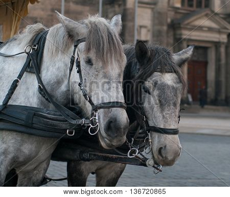 Horses harnessed to the carriage Dresden Germany