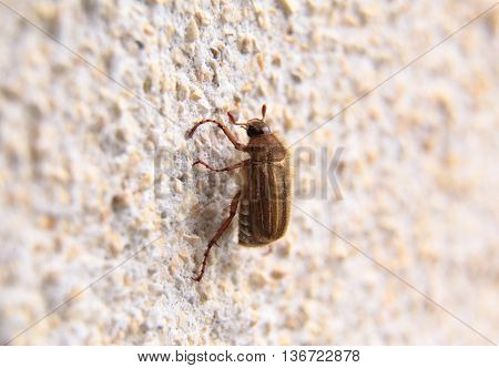 Closeup Of One Maybug On A Wall