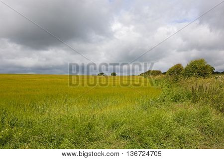 Yorkshire Wolds Barley Field