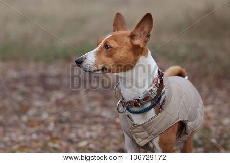 Portrait Of A Basenji Dog In Winter Clothes