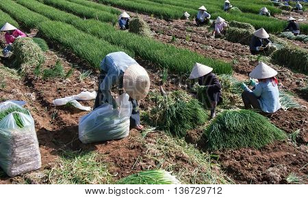 DA Lat, Vietnam, September 12, 2015 Farmers Da Lat, Lam Dong, develop export onion cultivation