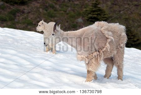 Mountain Goats - Mother with Baby on Hurricane Hill / Ridge snowfield in Olympic National Park in Washington USA