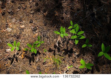 The foliage is fresh bright green grass on the shaded forest floor covered with pine cones and needles.