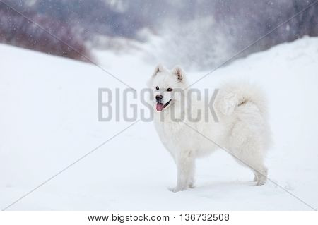 white dog Samoyed walks in the woods in winter