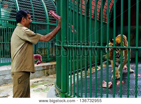 Staff Of Zoo Feed Big Tiger , India