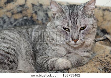 Cat portrait close up. Cat face. Cat on a sofa. Sleepy big cat