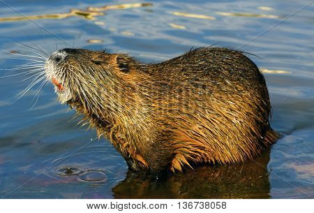 Coypu nutria near river Vltava in summer in Prague