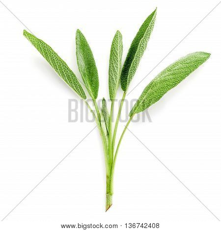 Close Up Branch Fresh Sage Leaves Isolated On White Background . Alternative Medicine Fresh Salvia O
