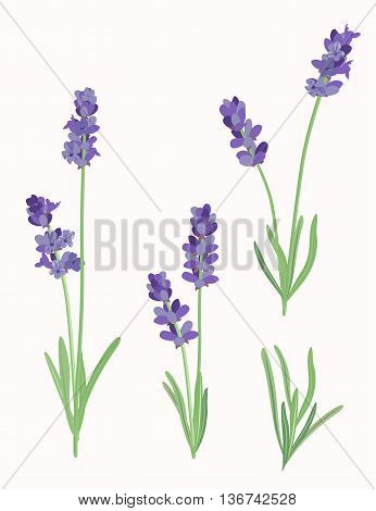 Vector illustration of lavender flowers in vintage style.