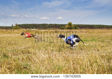 Coursing. Dogs Whippet Running Track. Herbal Pore. Red And Blue