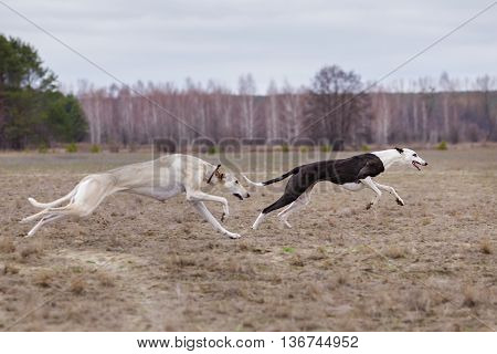 Training For Coursing. Greyhound Race And Russian Hort